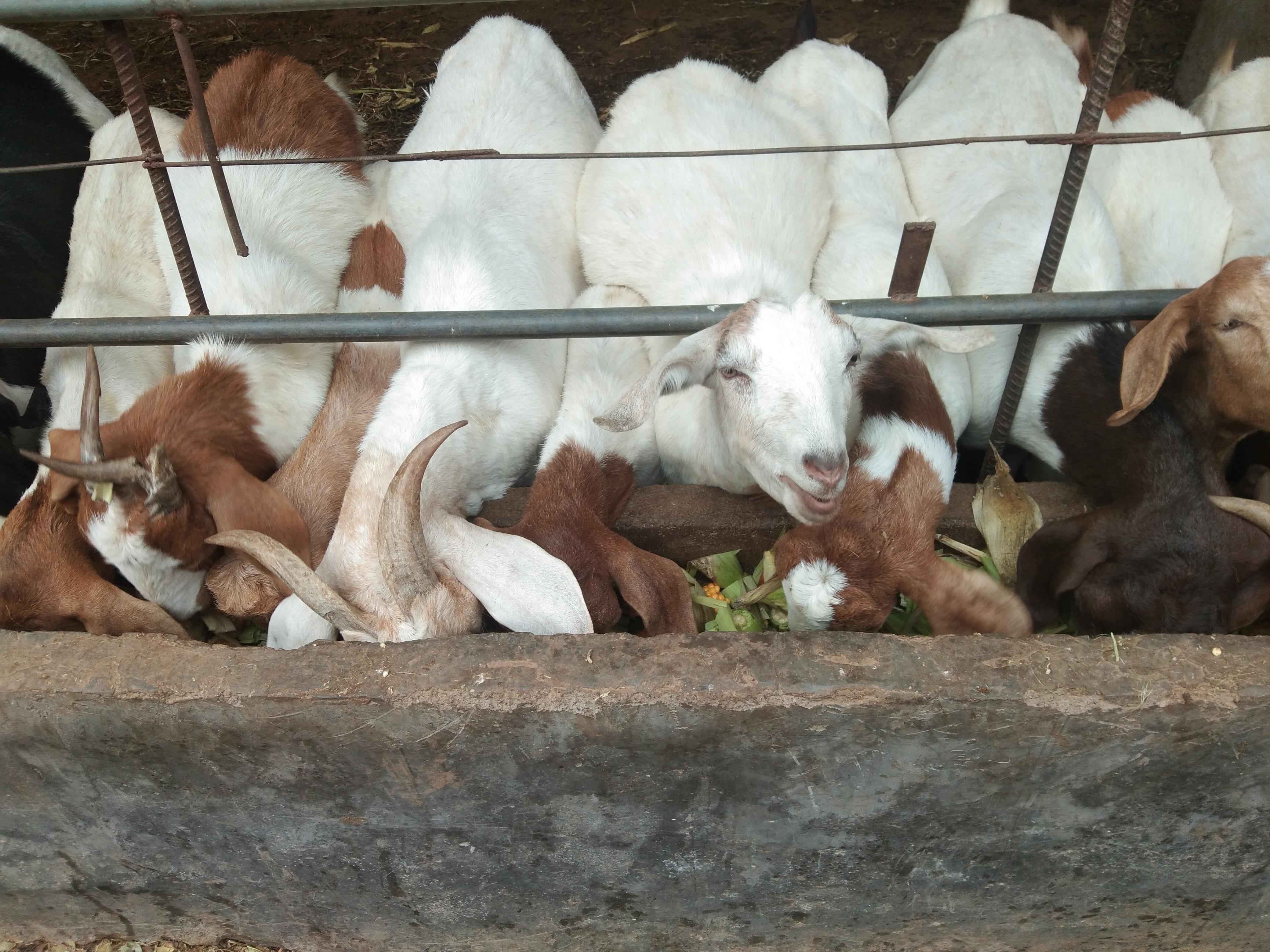 浅谈一下2020年下半年的羊价走势——还出现毛羊6元一斤的情况么